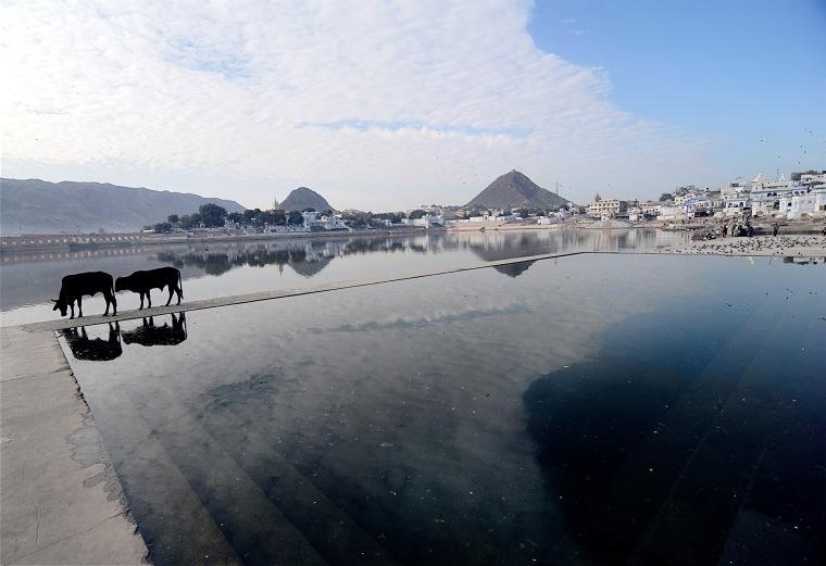 """""""Holy heavenly Cows"""". Pushkar, Indien. Lyddæmpende billeder i forskellige størrelser."""